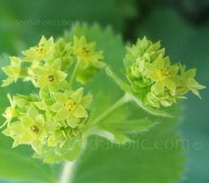 Alchemilla mollis - Foliage & Fillers - The Cutting Garden - Flowers Seeds