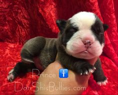 Sweet Prince   DanShisBullies.com  1st pick boy, 2nd pick boy, and 3rd pick boy from litter are reserved. 1 boy and 2 girls available. Picks of litter are usually chosen by the time they are 6 weeks old. 3 puppies will then be available. We are accepting reservation fees for the available puppies.  If you're interested in any of our puppies, you can visit our site to see pictures, pedigree, puppy package, mom's health testing, Puppy/Adult Adoption application and more on our site below…