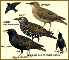 Common Starling, Love Birds, My Animal, Neko, Culture, Drawings, Countries, Animals, French