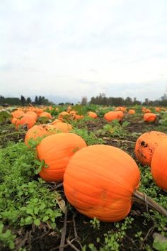 How to plant, grow, pollinate, and harvest pumpkins in the home garden with tips on how to curl the stem and ward off disease and pest problems. All about growing garden pumpkins!!  #gardeningideas