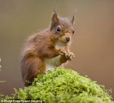 Red squirrel in the UK.
