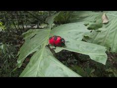 Mariehønen Evigglad - YouTube