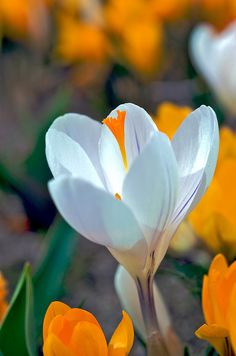 White and orange crocus