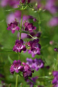 Pikes Peak Purple® Penstemon - Monrovia - Zone: 4-9