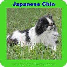 Here are 20 calm dog breeds that will be perfect for someone looking for an even tempered, mellow, easy going dog. Best Small Dogs, Small Sized Dogs, Small Breed, Calm Dog Breeds, Puppy Breeds, Low Energy Dogs, Best Apartment Dogs, Choosing A Dog, Dog Park