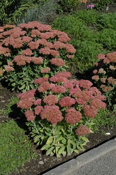 Click to view full-size photo of Autumn Fire Sedum (Sedum spectabile 'Autumn Fire') at Bachman's Landscaping