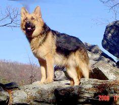 Large King Size German Shepherds