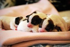 New Born Papillon Puppies