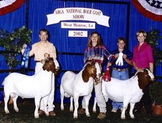 Powell-Holman National Yearling Boer Goat Bucks. Show Goats for sale.