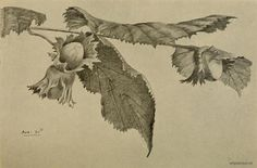 old print of a hazel tree