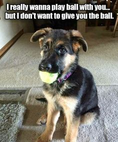 Wicked Training Your German Shepherd Dog Ideas. Mind Blowing Training Your German Shepherd Dog Ideas. Funny Dog Memes, Funny Animal Memes, Cute Funny Animals, Cute Baby Animals, Funny Dogs, Dog Humor, Silly Dogs, German Shepherd Memes, German Shepherd Puppies