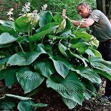Najlepsze nasiona kiełkują Bonsai Kwiaty Hosta cesarzowa Wu Giant (Gallon Pot) ~ świecie Hosta Jardim (Chiny (kontynentalne))