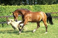 Anky's Bonfire playing with his pasture mate! Anky van Grunsven Official Website nice life for a retired old man...like anky said hes the most spoiled in her barn