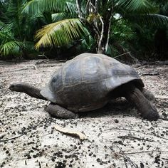 What happens when you come across an Aldabran Giant tortoise in the #Curieuse mangroves? Photo ops for days! #gvi #seychelles #volunteer