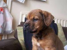 dogue de bordeaux puppies - Google Search
