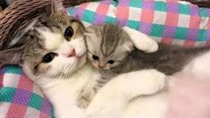 Baby Kittens, Kittens Cutest, Cats And Kittens, Cute Cats, Funny Animal Clips, Cute Animal Videos, Funny Cats Youtube, Funny Cat Videos, Kitty Cats