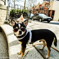 Anthony Rubio's Chihuahuas Bogie and Kimba. ...... Bogie knows how to be cool in the Summer. I hope you are having a great day.