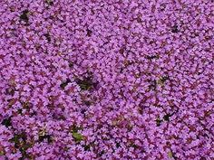 Thyme, Mother of Thyme Creeping perennial with tiny leaves that are fragrant when bruised. Blooms during June and July. Sun to partial shade.