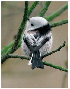 """This precious little fellow is a """"Codibugnolo"""", in Italian and a """"Long Tailed Tit"""" in English."""