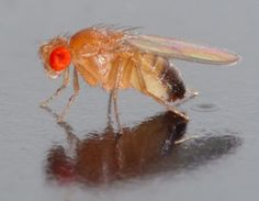 SMOKING GUN A gene on the Y chromosome of Drosophila melanogaster fruit flies was clearly copied from another fly chromosome, researchers report. ~~ André Karwath/Wikipedia (CC BY-SA Fly Control, Pest Control, Freshwater Aquarium, Aquarium Fish, Fruit Flies, Fly Traps, Natural Selection, Le Male, Naturaleza