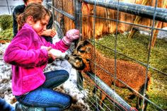Young girl feeding the baby lambs. By Paul Koester.