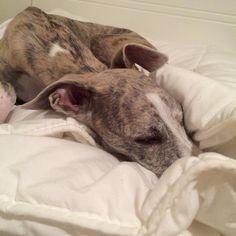 Sleep time #instadog #ilovemydog #instawhippet #ilovemywhippet #whippet #yuki #dogoftheday #sleepy #sleepywhippet by _yuki_nim
