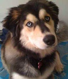 golden retriever german shepherd husky mix. I want this dog!