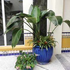 Whether they are indoors or outdoors they are sure to please you and your guests.  A bit about Bromeliads: -Brazil is home to the most species of bromeliads. -Many types and species, some with a bloom, some without bloom -Most bromeliads only bloom once in their life. -Blooms are bright & colorful -Bromeliads don't have one main flower, they actually produce an array of smaller flowers on spikes #bromeliads #Bloomingflowers #Flowers #Highsunflowers #indoorplants #houseplants #Bromeliad