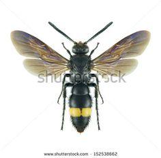 Ichneumonidae Fotos, imagens e fotografias Stock | Shutterstock