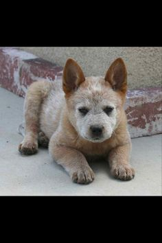 ACD Red Puppy, reminds me of when my Wyatt and Annie were little and then all their pups.
