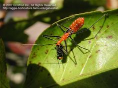 Beneficial insects in the garden: #06 Milkweed Assassin Bug (Zelus longipes)