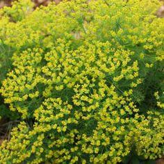 Herbs, Nature, Plants, Dry Garden, Yellow Flowers, Bright Green, Perennial, Rustic, Naturaleza