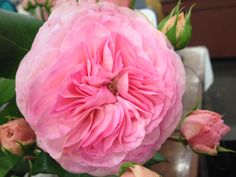 'Mariatheresia' garden rose. Light Pink Flowers, Cut Flowers, Wholesale Florist, Sky Design, Beautiful Roses, Lovely Things, Color Show, Flower Power, Peonies