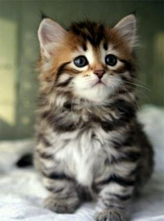 Fluffy Adorable Kitten