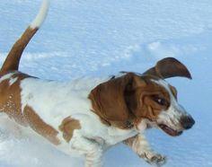 another basset hound running