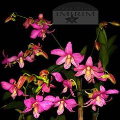 Dendrobium Candy Stripe