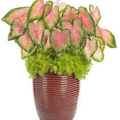 Proven Winners - Windsurf combination container recipe containing Proven Accents® Lemon Coral® - Sedum mexicanum, Heart to Heart™ 'Rose Glow' - Fancy Cal. Pink Roses Background, Fall Containers, Flower Containers, Shade Flowers, Proven Winners, Large Plants, New Leaf, Indoor Plants, Patio Plants