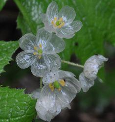 今日の花は、ハイカーに大へん人気があって私も大好きな花で、ここ2~3年の間に 尾瀬を中心に撮ったサンカヨウとキヌガサソウです。 どちらの花も、私の大好きな花です。 しかし、今年は花が咲くのが早くキヌガサソウは、撮ることが出来ませんでした。 <サンカヨウ> 南蔵王 雨に濡れたサンカヨウは、あたかもガラスで出来た花のようです。 以前に雨に濡れて透明に見えるサンカヨウを撮るため 霧吹きを準備して… Unique Flowers, White Flowers, Beautiful Flowers, Nature Plants, Flowers Nature, Beautiful Landscapes, Beautiful Gardens, Skeleton Flower, Prairie Garden