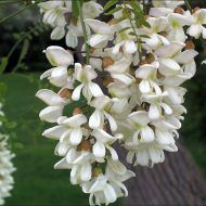 black locust close up Natural Health Remedies, Home Remedies, What Are Weeds, Tree Id, Id Photo, Forest Garden, Black Flowers, Botany, Health Tips