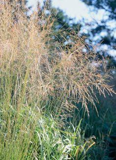Gardening ornamental grasses on pinterest ornamental for Easy ornamental grasses