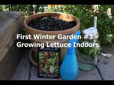 First Winter Garden Series #3: How to grow lettuce indoors in the winter - so easy!  Plant some today, you'll be so glad you did in a few months when there is snow on the ground!