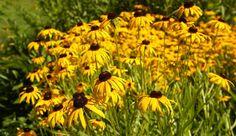 Rudbeckia Fulgida var. speciosa 'Viette's Little Suzy' information, coneflower 'Viette's Little Suzy' information, late summer perennial, golden flowers, yellow perennial,Dwarf Rudbeckia