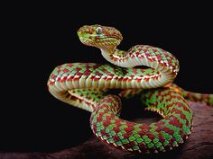 Kanburian bamboo viper by Michael Kern