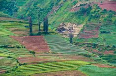 Vegetable fields at Wonosobo, Dieng Plateau, Central Java, Indonesia, Southeast Asia, Asia