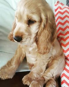 Introducing jasper the cocker spaniel at just 10 weeks old. Animals And Pets, Baby Animals, Cute Animals, Cute Dogs And Puppies, I Love Dogs, Doggies, Corgi Puppies, Perro Cocker Spaniel, Cockerspaniel