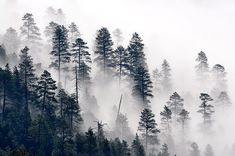 File:Trees in the mist (7699564540).jpg