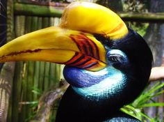 sulawesi  hornbill, also known as Sulawesi Wrinkled Hornbill. An Indonesian endemic that is restricted to the tropical forests of Sulawesi, Buton, Lembeh, Togian and Muna Island, this is portrait of a particularly female bird as its  yellow knob.