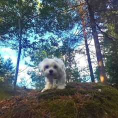 Into the woods Follow @maltese_dog_love for more via @zoemeetstheworld Love to tag? Please do! - #maltese #maltesedoglove #maltesers #maltese101 #maltesedog #maltesepuppy #malteseofficial #malteselover #malteselovers #malteseofinstagram #malteser #dog #dogs #puppy #dogsofinstagram #instadog #dogstagram #ilovemydog #dogoftheday #lovedogs #instagramdogs #doglife #doglove #dogsofinstgram
