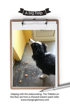 Border collies like to be part of everything, including redecorating.