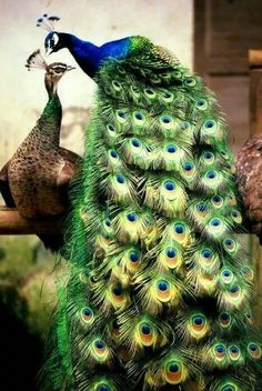 sad but true, the male peacock is the colorful one, the peahen are camouflage. true with most birds. Peacock And Peahen, Peacock Bird, Indian Peacock, Green Peacock, Peacock Colors, Peacock Pattern, Peacock Feathers, Most Beautiful Birds, Pretty Birds